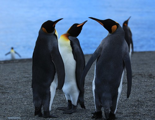 King Penguin threesome on the beach