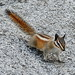 Lodgepole Chipmunk - Photo (c) Nicholas Turland, some rights reserved (CC BY-NC-ND)
