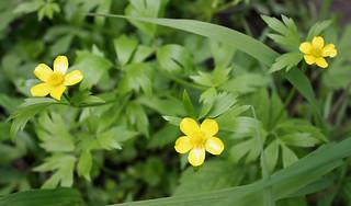 YellowButtercups
