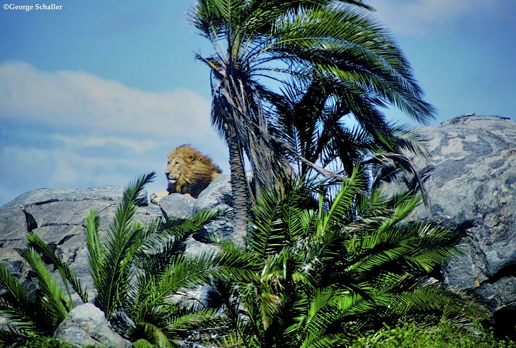 Male lion in paradise