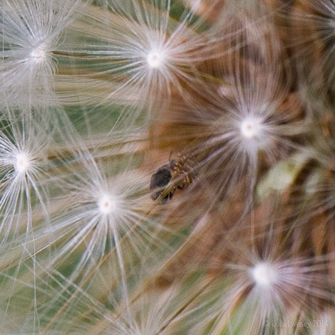 Is that a tick in the dandelion head?
