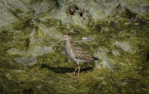 bird kentucky morehead shorebird pectoralsandpiper minorclarkfishhatchery