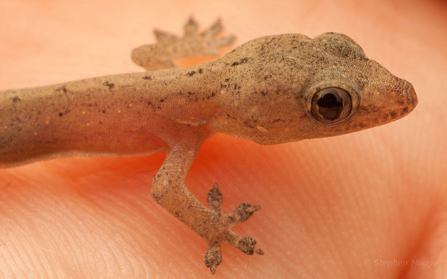 Gecko #2