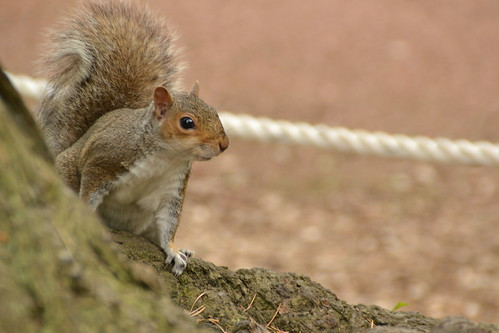 457 - Edinburgh - botanic gardens - Squirrel