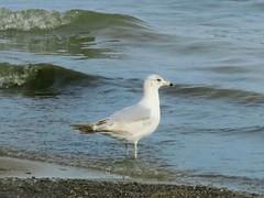 Sea Gull on Lake Champlain