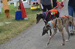 dog sports, animal sports, animal, dog, sports, pet, mammal, greyhound, conformation show,