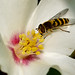 Hoverfly on Philadelphus