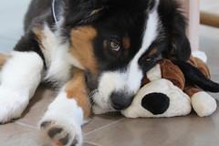 puppy(0.0), appenzeller sennenhund(0.0), dog breed(1.0), animal(1.0), dog(1.0), pet(1.0), greater swiss mountain dog(1.0), entlebucher mountain dog(1.0), bernese mountain dog(1.0), carnivoran(1.0),