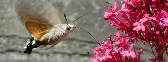 La esfinge colibrí (Macroglossum stellatarum)