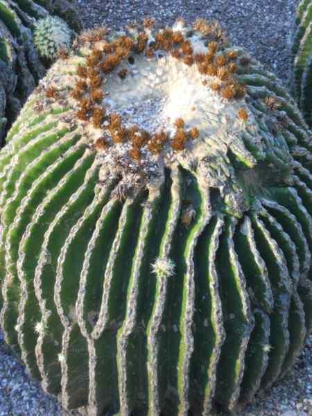 Echinocactus grusonii 'Subinermis' v 1