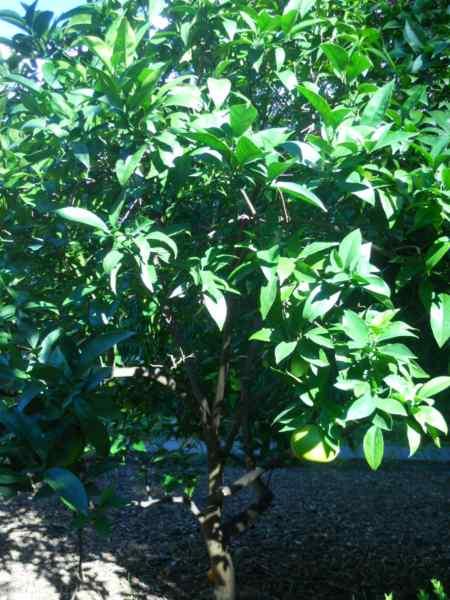 Citrus sinensis 'Navelina' v 2