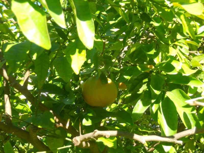 Citrus x paradisi 'Star Ruby' 3