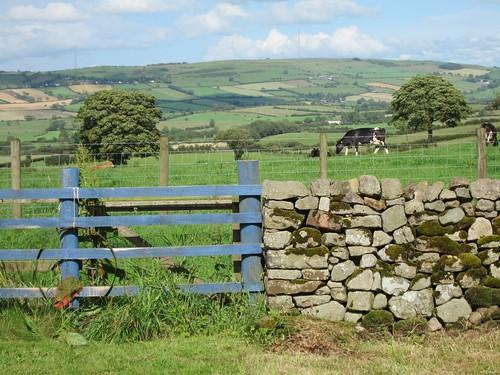hills, cows, gate