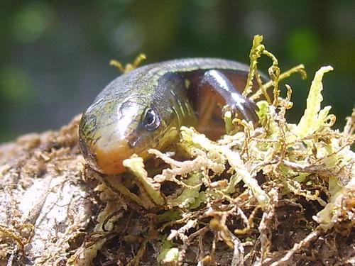 Mabuya unimarginata ( Scincidae ) by elprofedebiolo