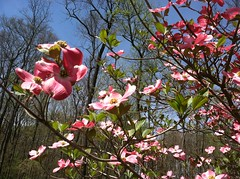 Dogwood blooms in Annandale-on-the-Hudson, NY
