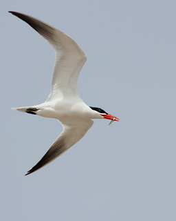 Caspian Tern with Breakfast