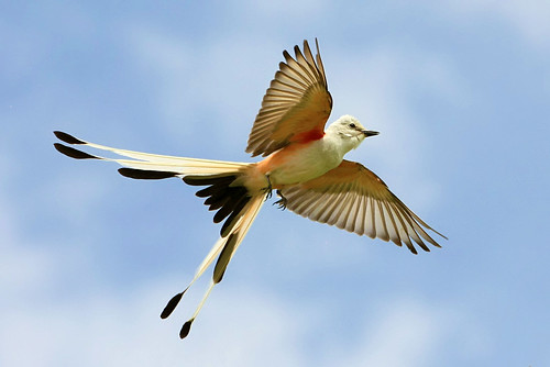 Scissor-tailed Flycatcher Flight