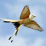 Scissor-tailed Flycatcher Flight