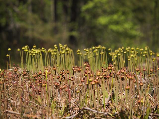 Sarracenia beds