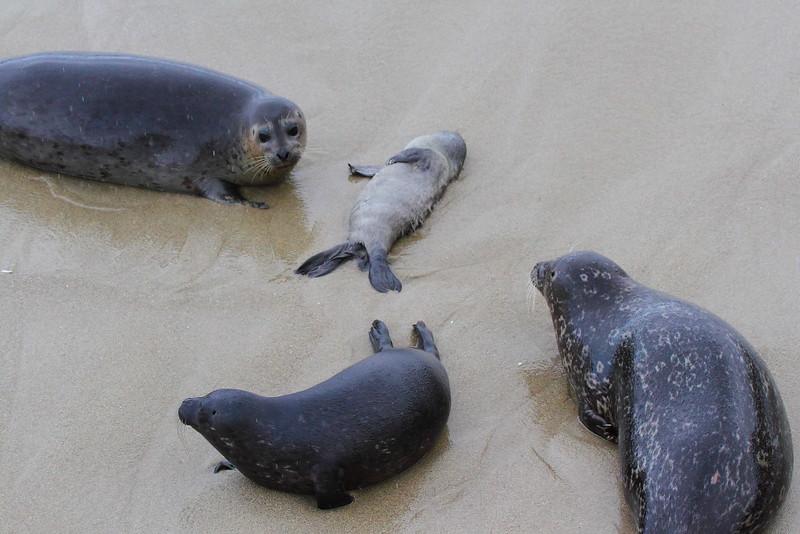 IMG_0965 Harbor Seal Stillborn Pup
