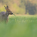 Pregnant roe deer doe by Wouter's Wildlife Photography