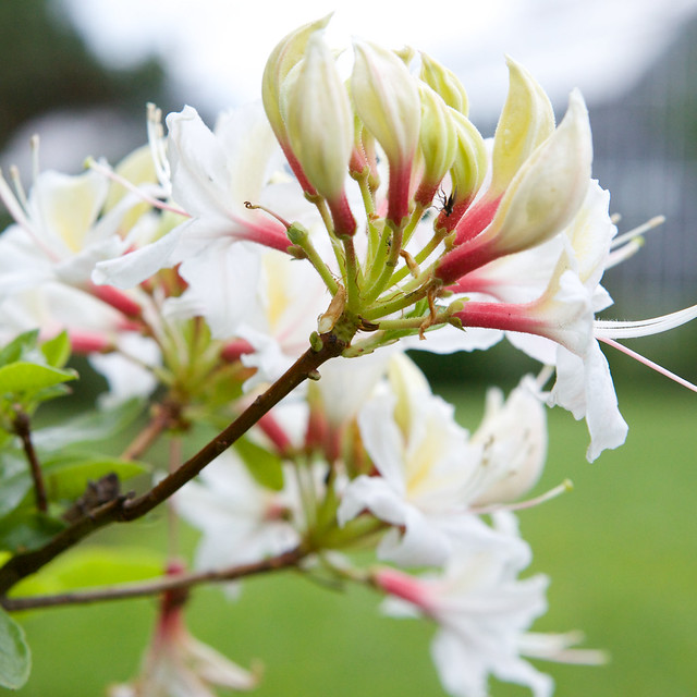 white rhododendron. Lviv botanic garden. Ukraine