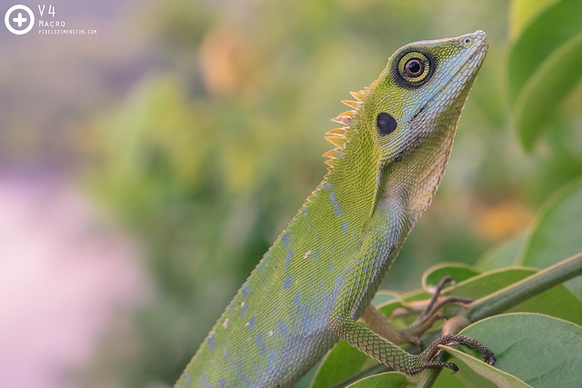 Green Crested Lizard 1- Bronchocela cristatella