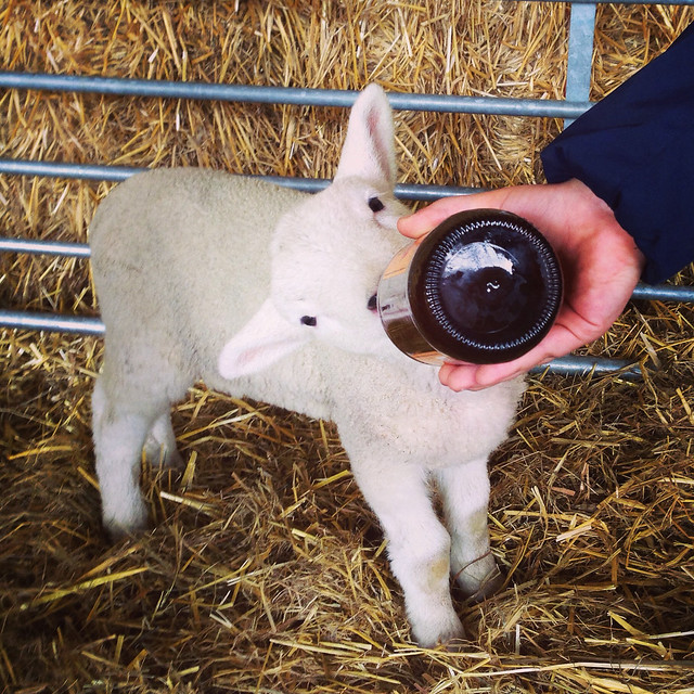 Bottle feeding an orphan lamb