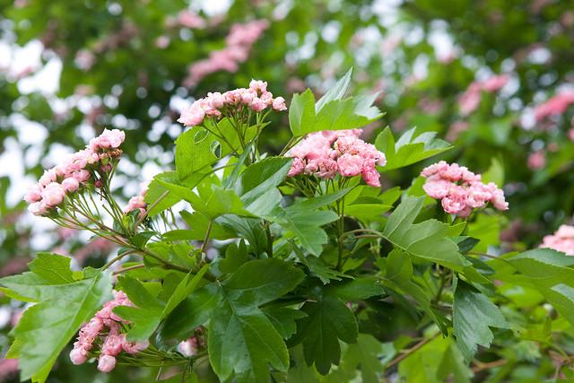 unknown tree in bloom. Botanical garden. Lviv, Ukraine
