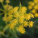 golden alexanders - Photo (c) Peter Gorman, some rights reserved (CC BY-NC-SA)