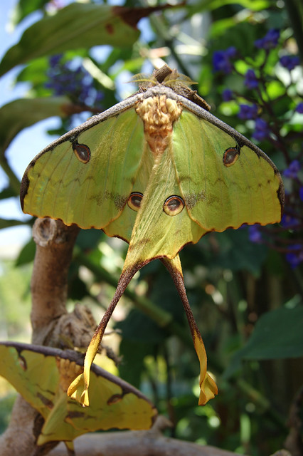 African Moon Moth This photo is available for anyone to us ...