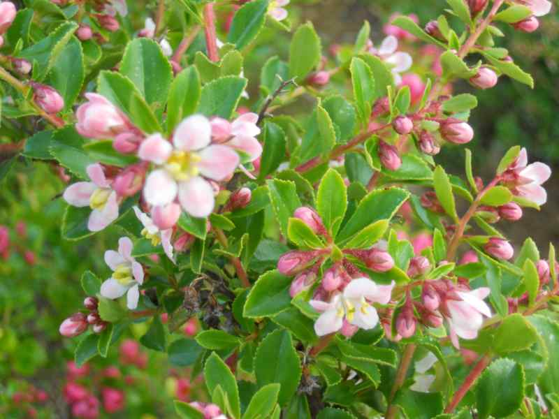 Escallonia 'Iveyi' 2