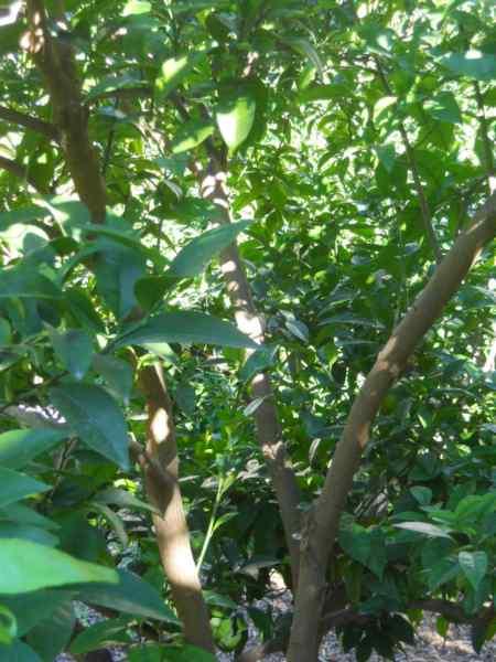 Citrus sinensis 'Newhall' v 4