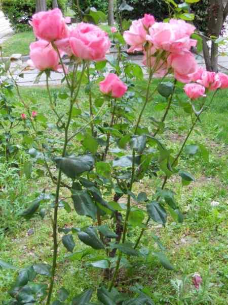 Rosa floribunda v 3