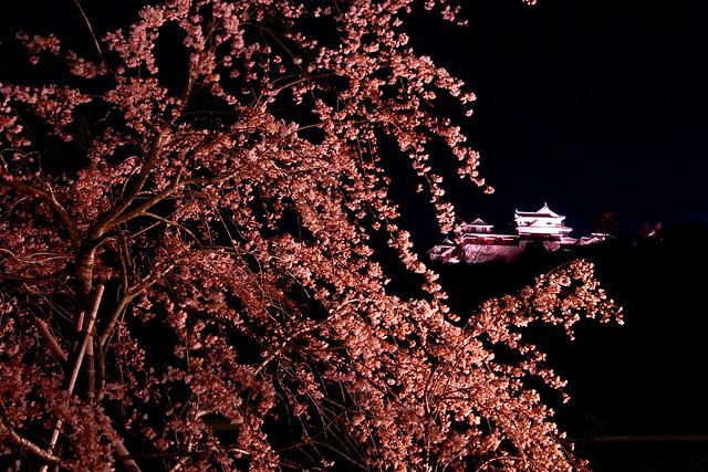 Sidare zakura with Matsuyama castle