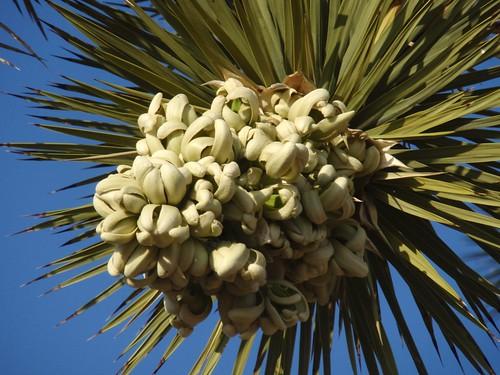 Yucca Brevifolia 02