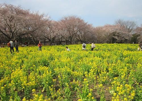 菜の花と桜@昭和記念公園 2012年4月9日 by Poran111