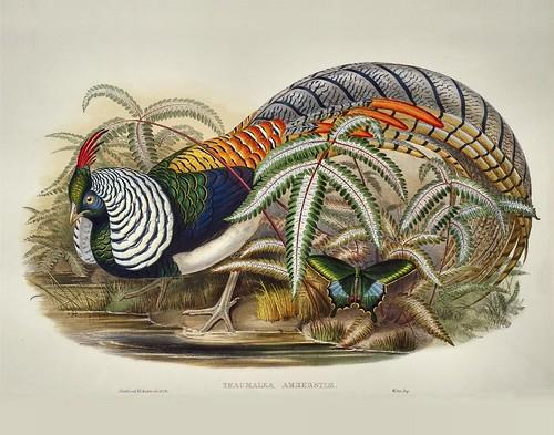 Thaumalea amherstiae (John Gould) by peacay