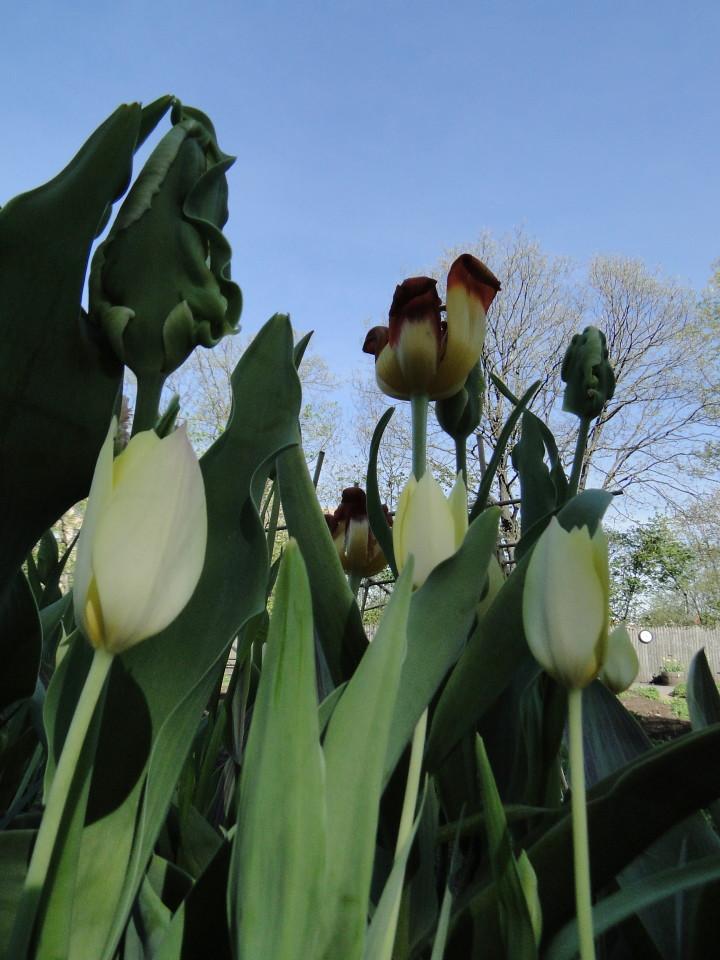 77-21apr12_4044_Botanical_garden_tulip