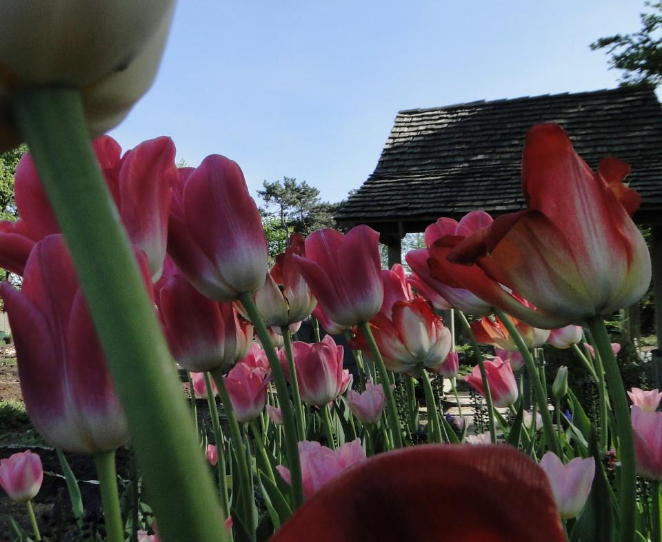 77-21apr12_4045_Botanical_garden_tulip