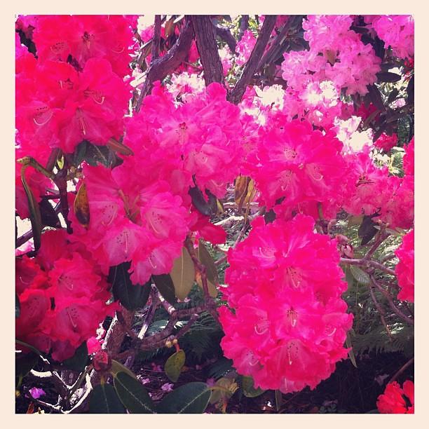 Rhododendron at Mendocino Coast Botanical Gardens