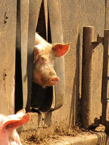 XXL-Schwein - zu fein für den Dreck