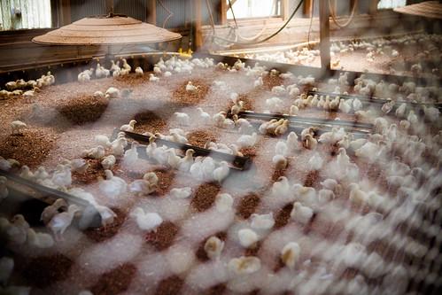 Polyface Farm 2012-0111.jpg