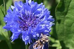 garden flower 008