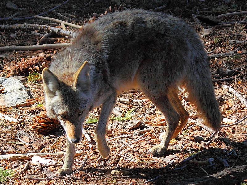 IMG_5432 Coyote, Yosemite National Park