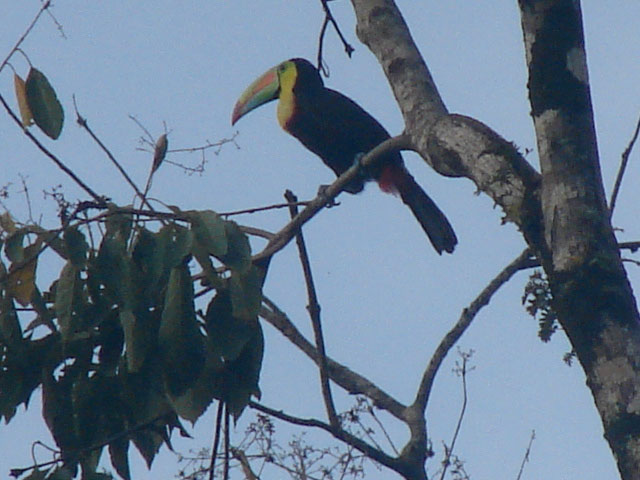 my-first-keel-billed-toucan