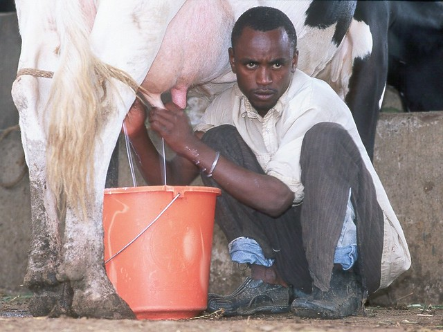 Youth milking on a dairy farm in Machakos, Kenya