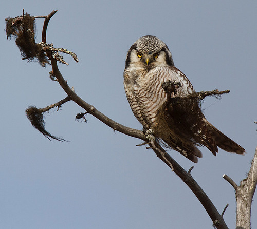Surnia ulula Northern Hawk Owl Hökuggla