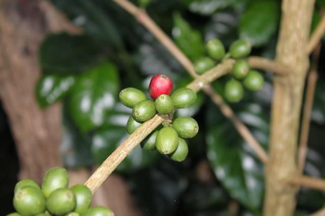 Finca Pashapa, Honduras, November 2010