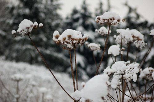 Snowy umbellifers series